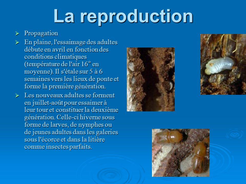 La reproduction Propagation En plaine, l'essaimage des adultes débute en avril en fonction des conditions climatiques (température de l'air 16° en moy