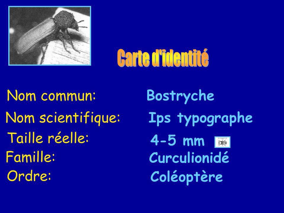 Nom scientifique:Ips typographe Nom commun:Bostryche Taille réelle: 4-5 mm Famille: Curculionidé Ordre: Coléoptère