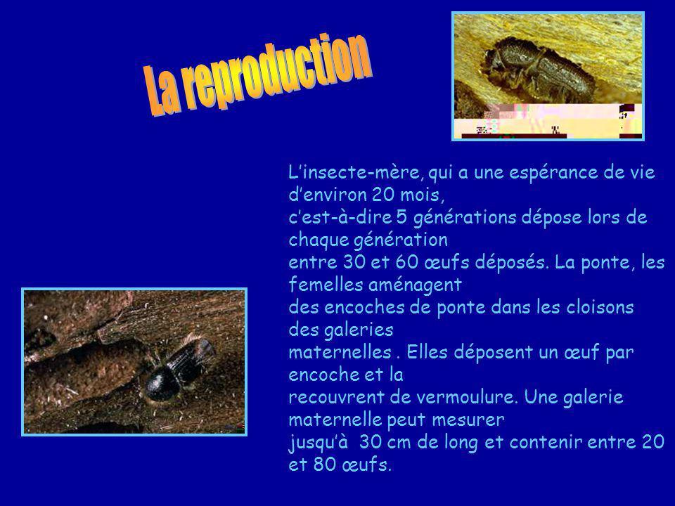 Linsecte-mère, qui a une espérance de vie denviron 20 mois, cest-à-dire 5 générations dépose lors de chaque génération entre 30 et 60 œufs déposés.