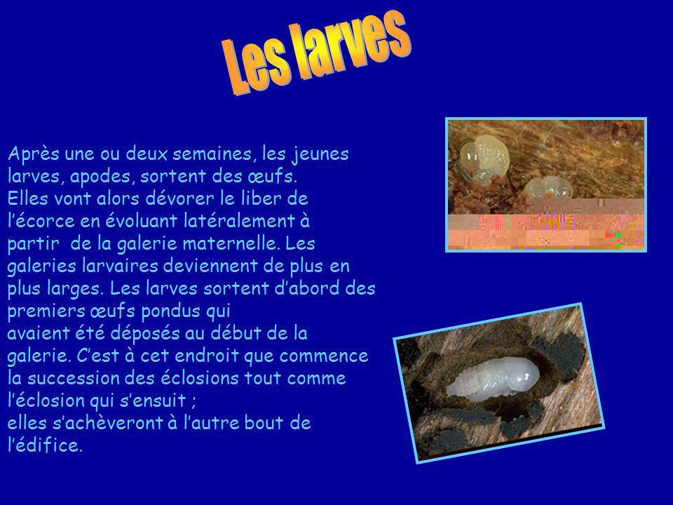 Après une ou deux semaines, les jeunes larves, apodes, sortent des œufs.