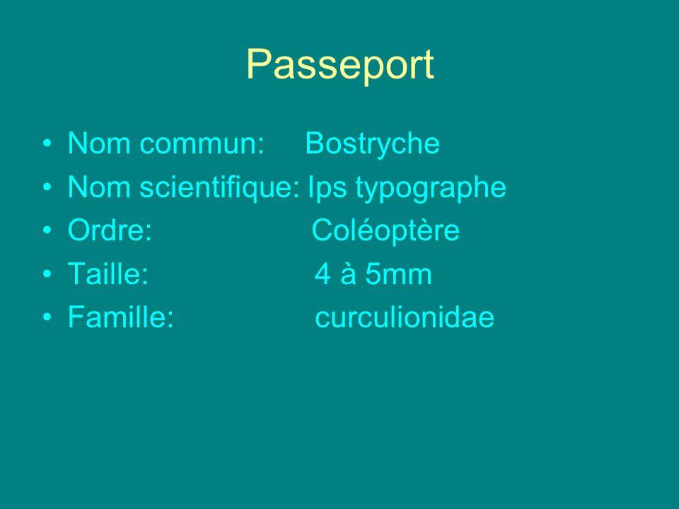 Passeport Nom commun: Bostryche Nom scientifique: Ips typographe Ordre: Coléoptère Taille: 4 à 5mm Famille: curculionidae