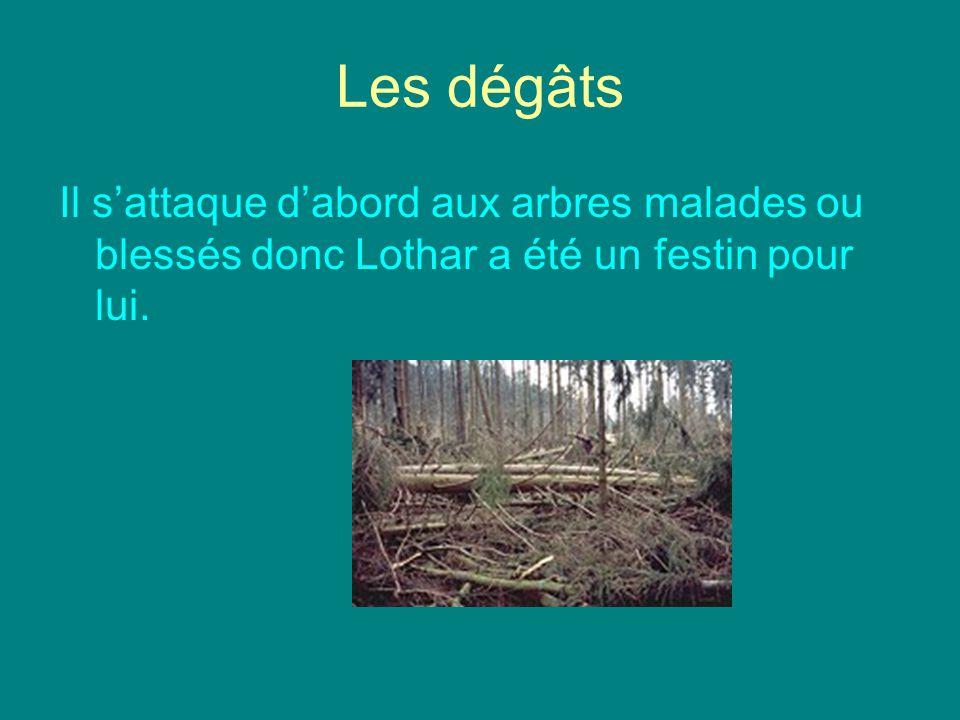 Les dégâts Il sattaque dabord aux arbres malades ou blessés donc Lothar a été un festin pour lui.