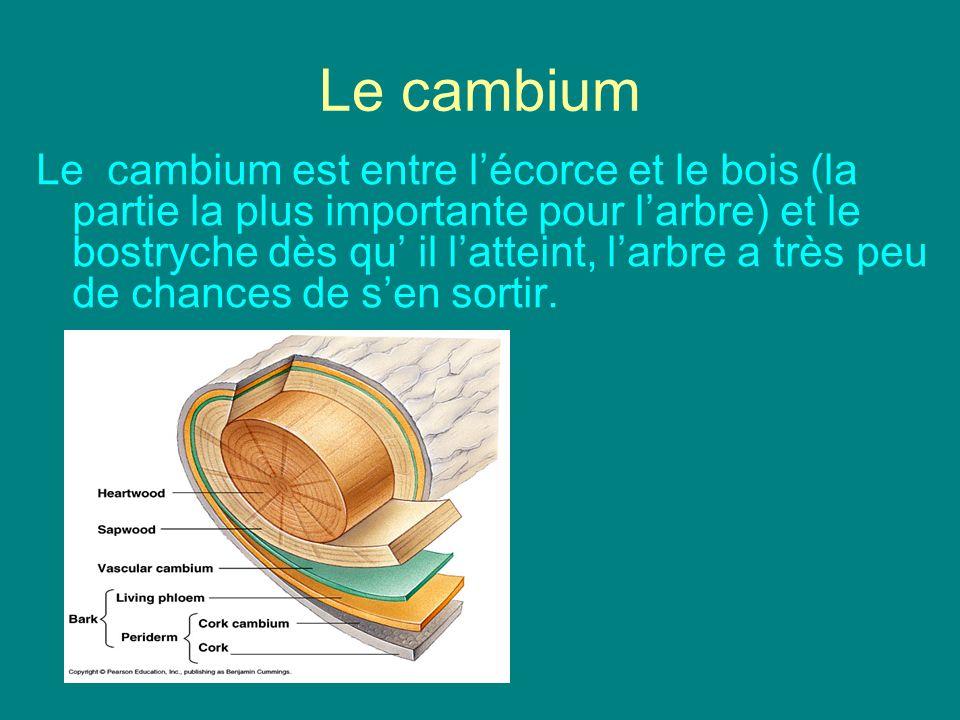 Le cambium Le cambium est entre lécorce et le bois (la partie la plus importante pour larbre) et le bostryche dès qu il latteint, larbre a très peu de