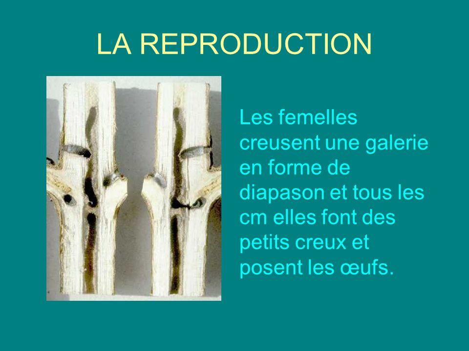 LA REPRODUCTION Les femelles creusent une galerie en forme de diapason et tous les cm elles font des petits creux et posent les œufs.