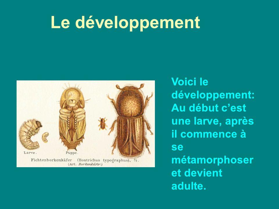 Voici le développement: Au début cest une larve, après il commence à se métamorphoser et devient adulte. Le développement