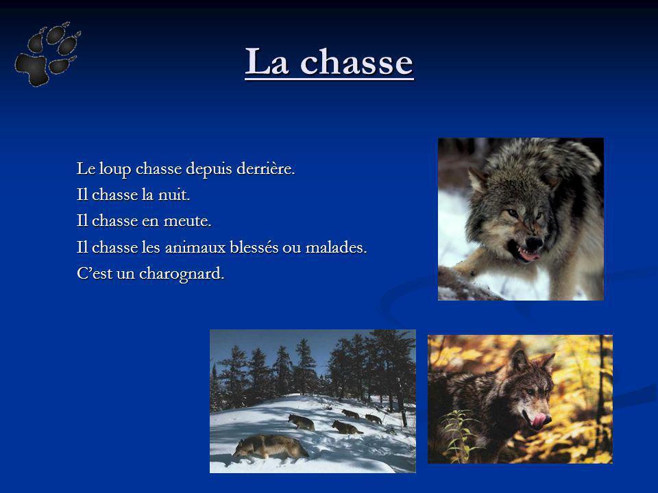 La chasse Le loup chasse depuis derrière. Il chasse la nuit. Il chasse en meute. Il chasse les animaux blessés ou malades. Cest un charognard.