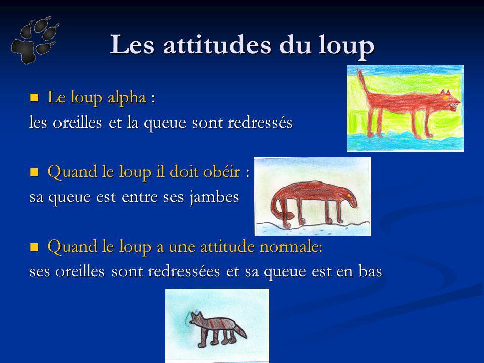 Les attitudes du loup Le loup alpha : les oreilles et la queue sont redressés Quand le loup il doit obéir : sa queue est entre ses jambes Quand le lou