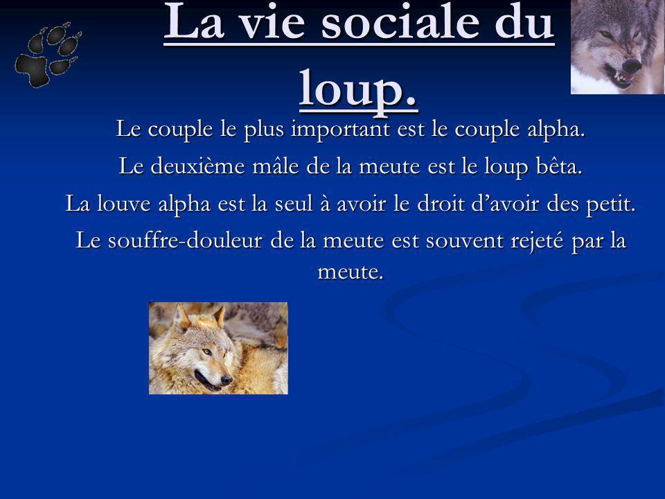 La vie sociale du loup. Le couple le plus important est le couple alpha. Le deuxième mâle de la meute est le loup bêta. La louve alpha est la seul à a