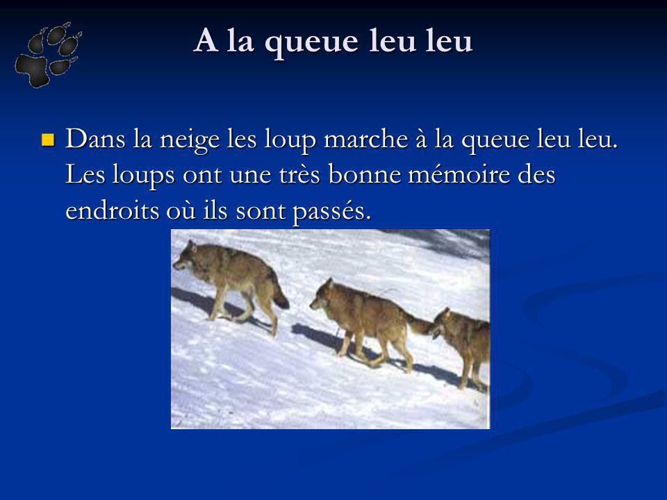 A la queue leu leu Dans la neige les loup marche à la queue leu leu. Les loups ont une très bonne mémoire des endroits où ils sont passés.