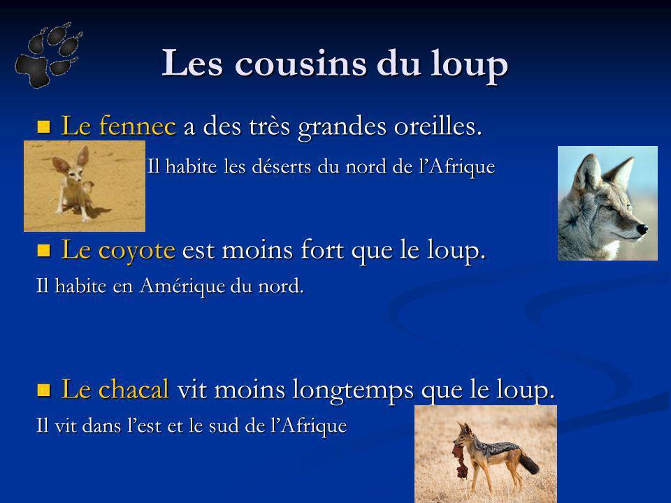 Les cousins du loup Le fennec a des très grandes oreilles. Le fennec a des très grandes oreilles. Il habite les déserts du nord de lAfrique Il habite