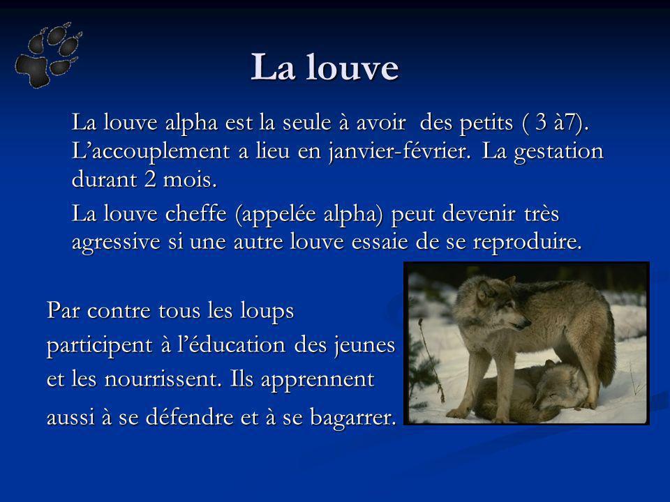 La louve La louve alpha est la seule à avoir des petits ( 3 à7). Laccouplement a lieu en janvier-février. La gestation durant 2 mois. La louve cheffe