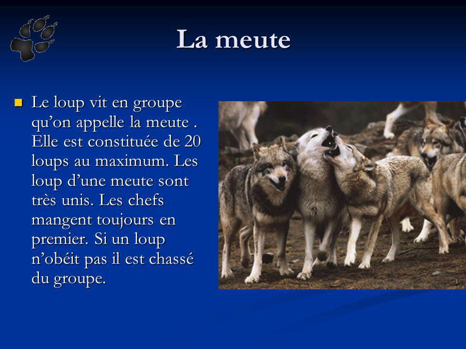 La meute Le loup vit en groupe quon appelle la meute. Elle est constituée de 20 loups au maximum. Les loup dune meute sont très unis. Les chefs mangen