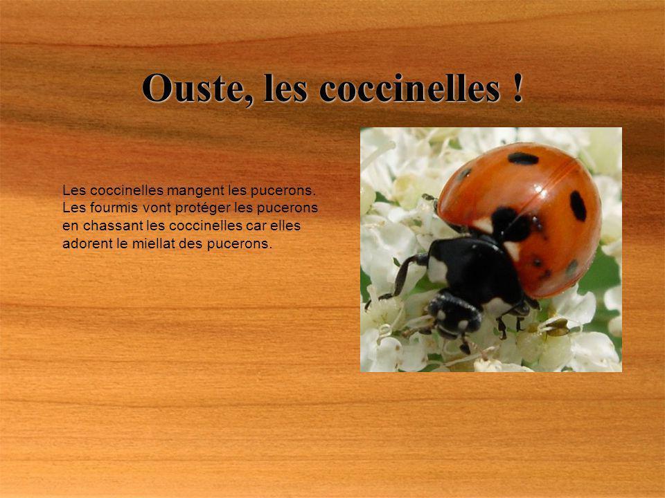 Ouste, les coccinelles ! Les coccinelles mangent les pucerons. Les fourmis vont protéger les pucerons en chassant les coccinelles car elles adorent le