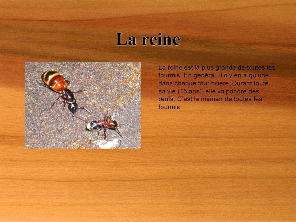 La reine est la plus grande de toutes les fourmis. En général, il ny en a quune dans chaque fourmilière. Durant toute sa vie (15 ans), elle va pondre
