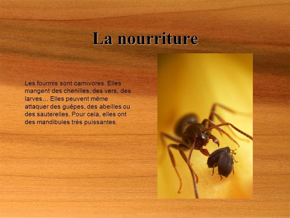 La nourriture Les fourmis sont carnivores. Elles mangent des chenilles, des vers, des larves… Elles peuvent même attaquer des guêpes, des abeilles ou