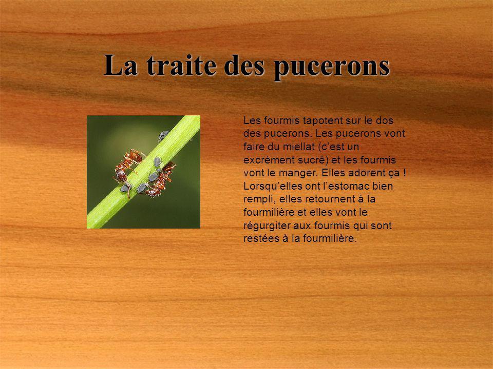 La traite des pucerons Les fourmis tapotent sur le dos des pucerons. Les pucerons vont faire du miellat (cest un excrément sucré) et les fourmis vont