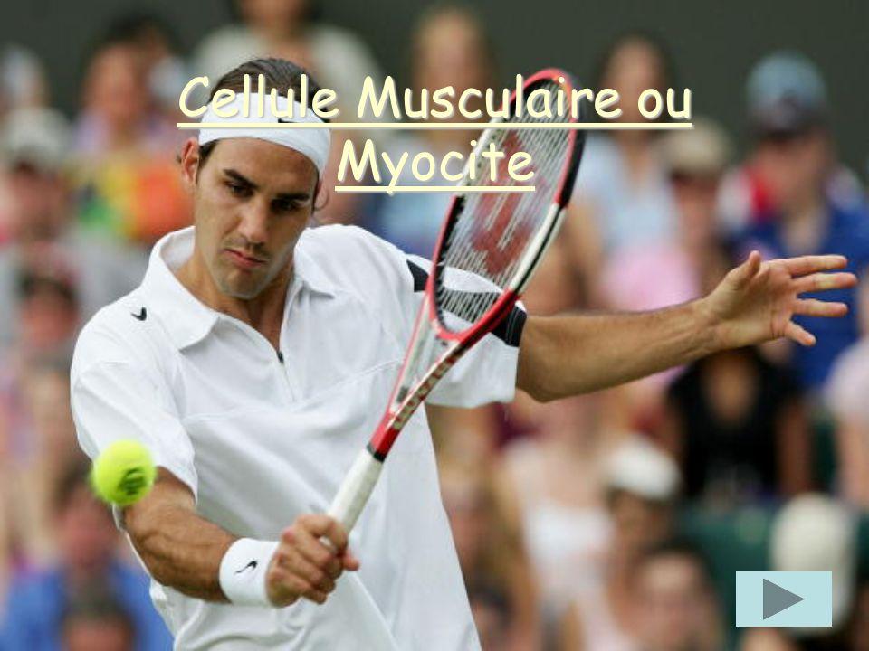 Cellule Musculaire ou Myocite