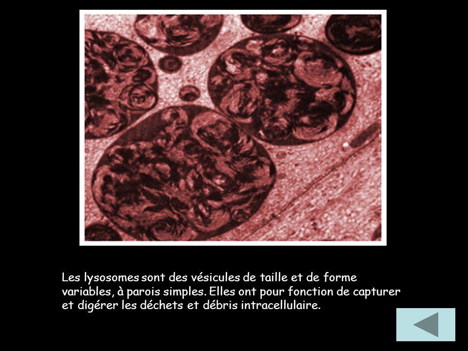 Les lysosomes sont des vésicules de taille et de forme variables, à parois simples. Elles ont pour fonction de capturer et digérer les déchets et débr