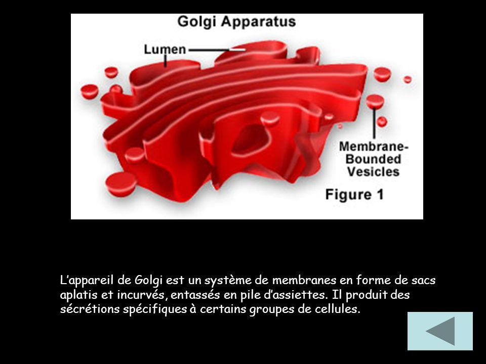 Les mitochondries sont des corps ovoïdes formés de deux membranes : une externe lisse et une interne fortement plissée.