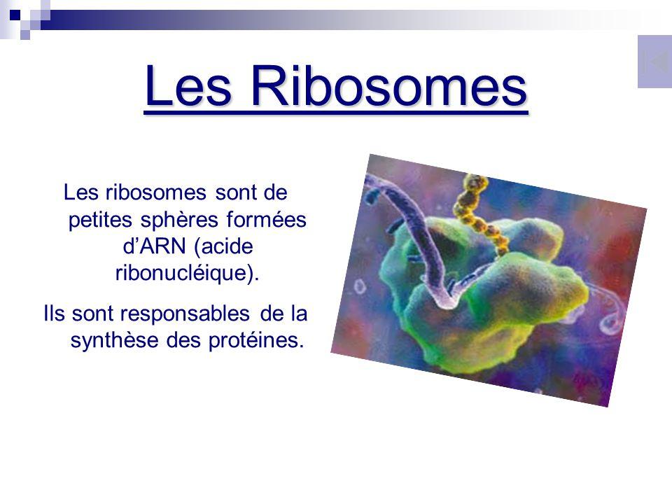 Les Ribosomes Les ribosomes sont de petites sphères formées dARN (acide ribonucléique). Ils sont responsables de la synthèse des protéines.