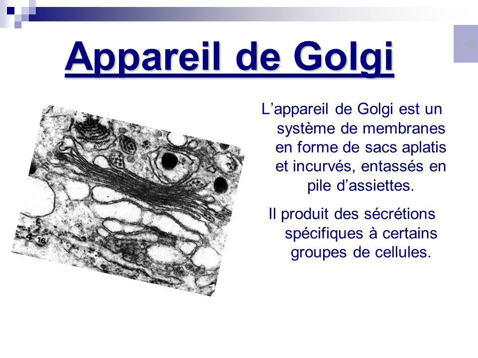 Lappareil de Golgi est un système de membranes en forme de sacs aplatis et incurvés, entassés en pile dassiettes. Il produit des sécrétions spécifique