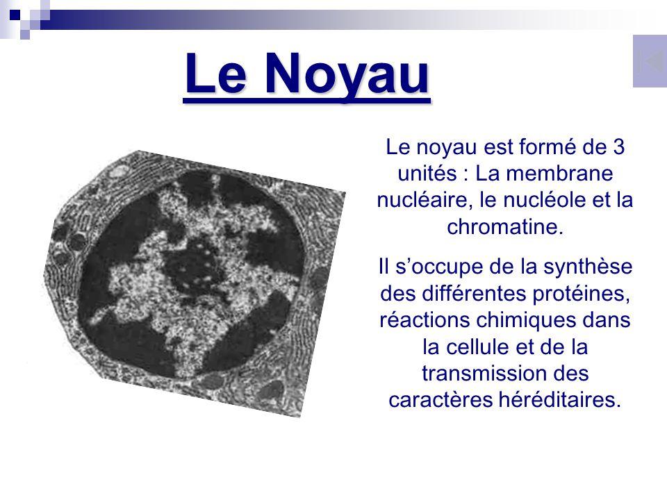 Le noyau est formé de 3 unités : La membrane nucléaire, le nucléole et la chromatine. Il soccupe de la synthèse des différentes protéines, réactions c