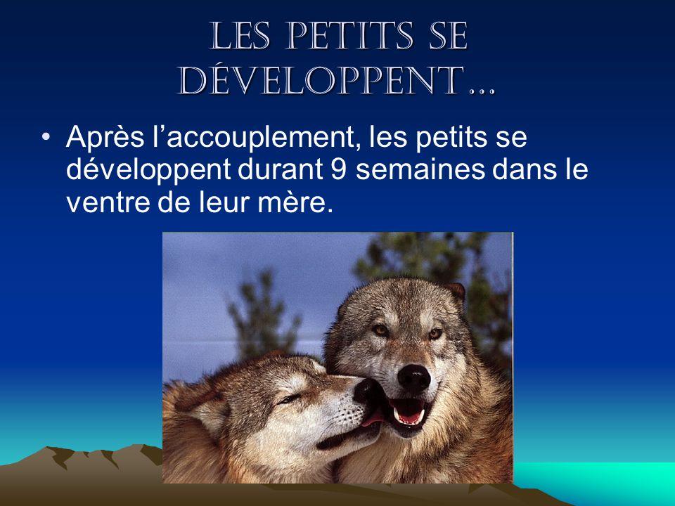 La naissance des petits La louve donne naissance de 3 jusquà 9 petits.