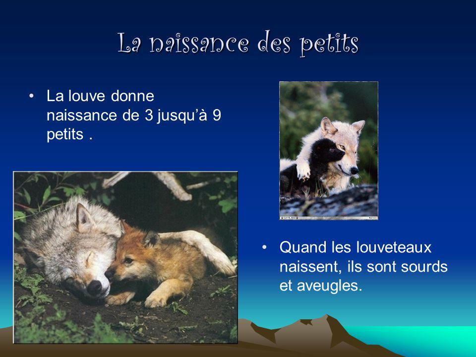 La naissance des petits La louve donne naissance de 3 jusquà 9 petits. Quand les louveteaux naissent, ils sont sourds et aveugles.