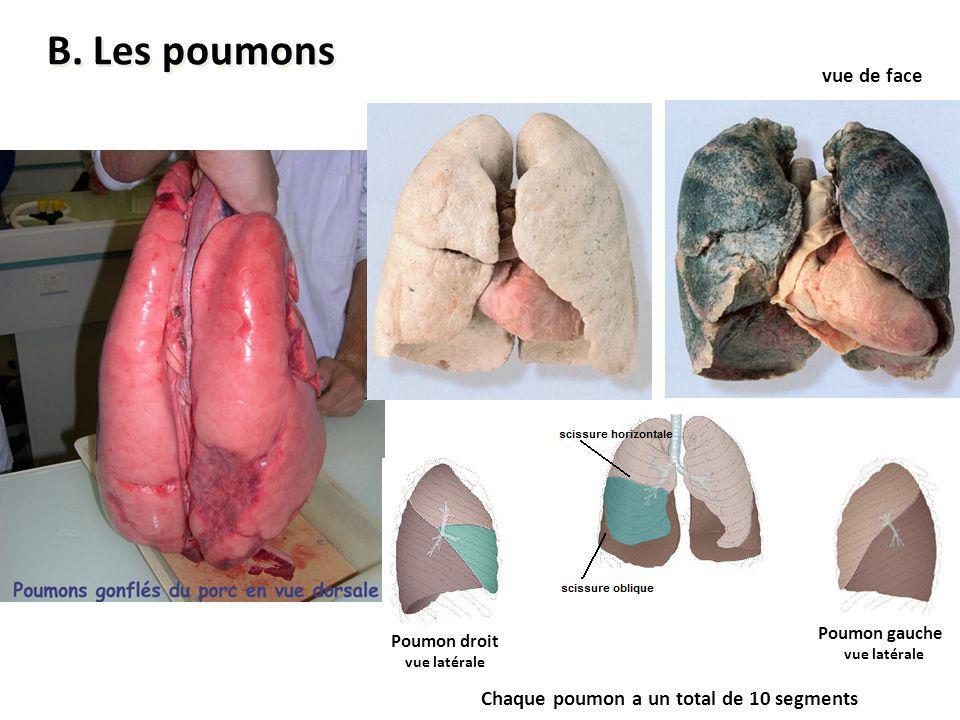 Poumon droit vue latérale Poumon gauche vue latérale vue de face Chaque poumon a un total de 10 segments B. Les poumons