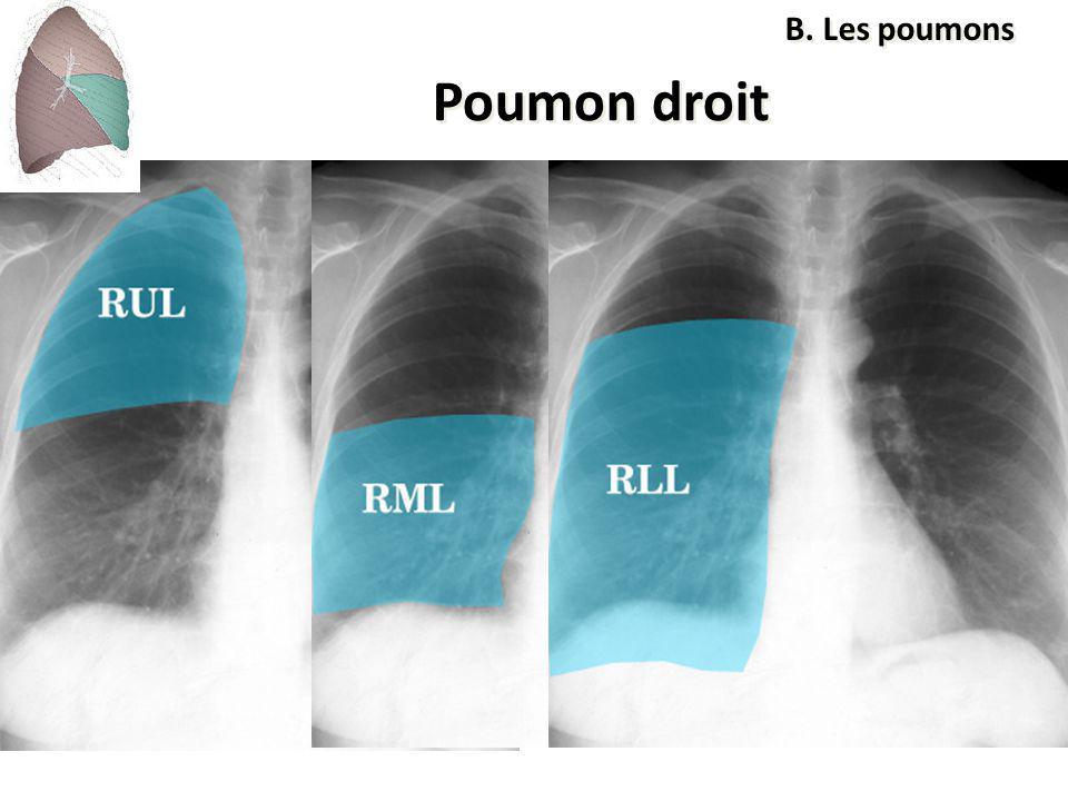 Poumon droit B. Les poumons