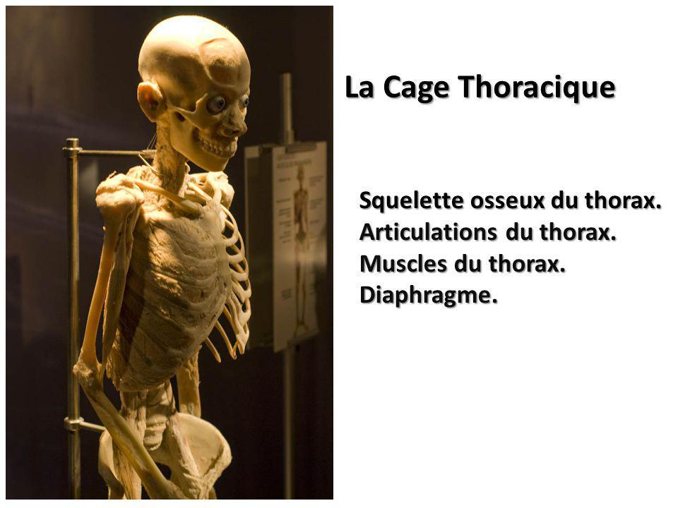 Squelette osseux du thorax. Articulations du thorax. Muscles du thorax. Diaphragme. La Cage Thoracique