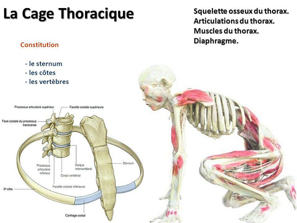 - le sternum - les côtes - les vertèbres Constitution Squelette osseux du thorax. Articulations du thorax. Muscles du thorax. Diaphragme. La Cage Thor