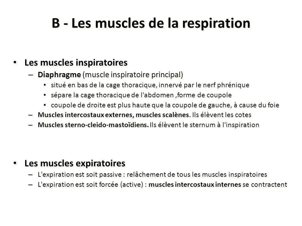 B - Les muscles de la respiration Les muscles inspiratoires – Diaphragme (muscle inspiratoire principal) situé en bas de la cage thoracique, innervé p