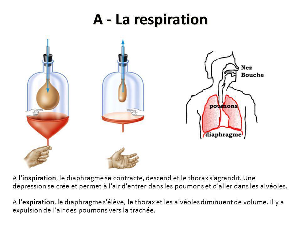 A l'inspiration, le diaphragme se contracte, descend et le thorax s'agrandit. Une dépression se crée et permet à l'air d'entrer dans les poumons et d'