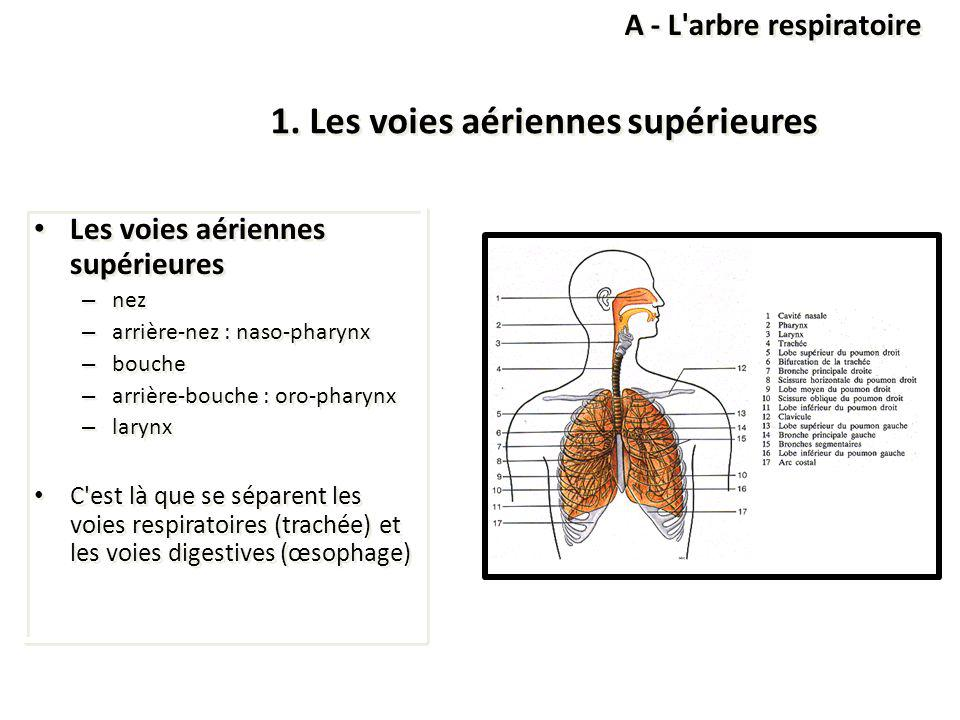 1. Les voies aériennes supérieures Les voies aériennes supérieures – nez – arrière-nez : naso-pharynx – bouche – arrière-bouche : oro-pharynx – larynx