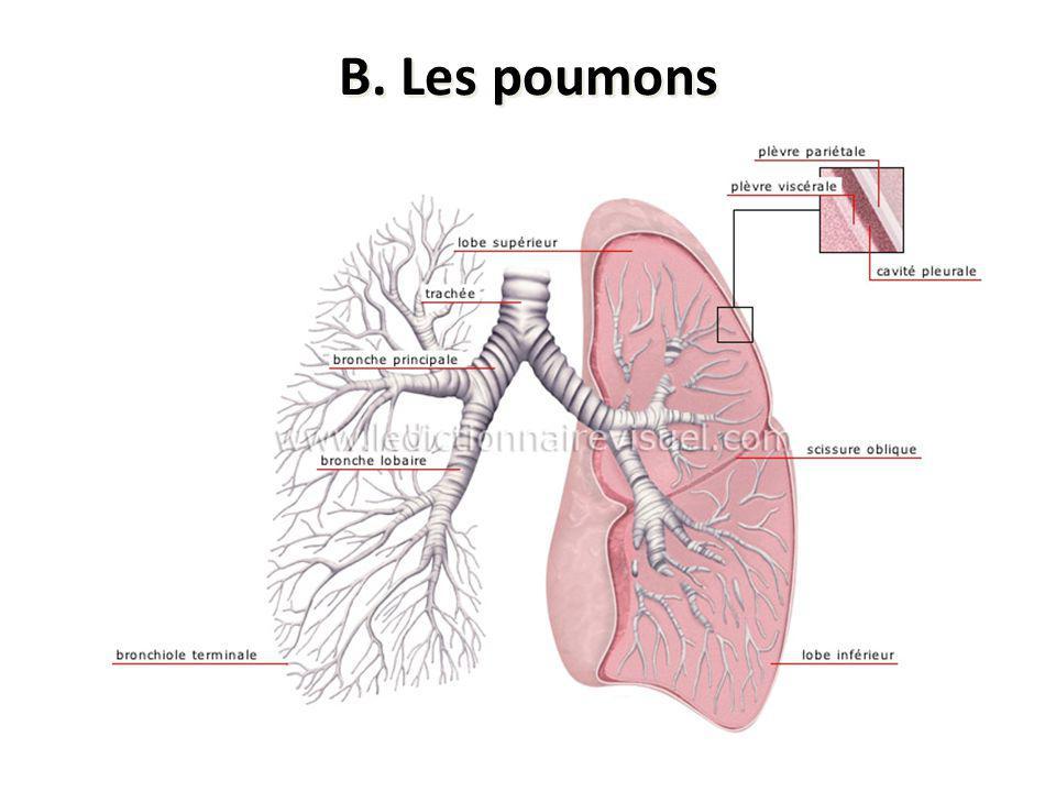 B. Les poumons Spongieux, gris rosé ayant une forme pyramidale Situés dans la cage thoracique et séparés par le cœur dans le médiastin S'étendent du d