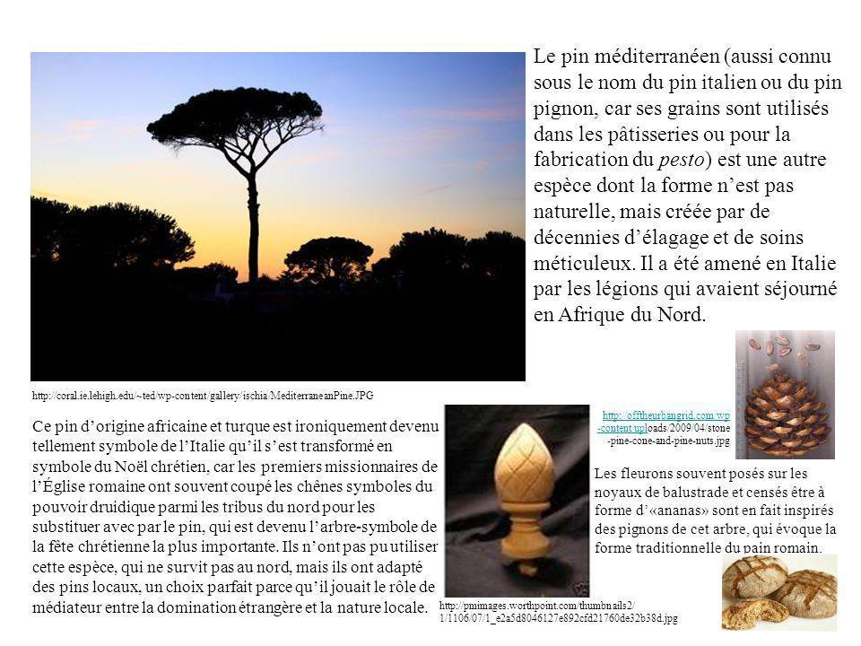 Le pin méditerranéen (aussi connu sous le nom du pin italien ou du pin pignon, car ses grains sont utilisés dans les pâtisseries ou pour la fabrication du pesto) est une autre espèce dont la forme nest pas naturelle, mais créée par de décennies délagage et de soins méticuleux.