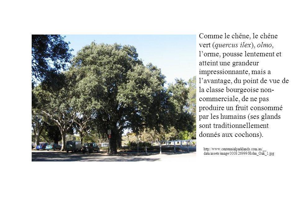 Comme le chêne, le chêne vert (quercus ilex), olmo, lorme, pousse lentement et atteint une grandeur impressionnante, mais a lavantage, du point de vue de la classe bourgeoise non- commerciale, de ne pas produire un fruit consommé par les humains (ses glands sont traditionnellement donnés aux cochons).
