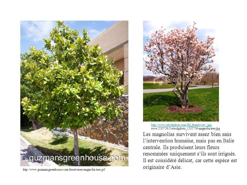 http://www.guzmansgreenhouse.com/desert-trees/magnolia-tree.gif http://www.istockphoto.com/file_thumbview_app http://www.istockphoto.com/file_thumbview_app rove/1535756/2/istockphoto_1535756-magnolia-tree.jpg Les magnolias survivent assez bien sans lintervention humaine, mais pas en Italie centrale.