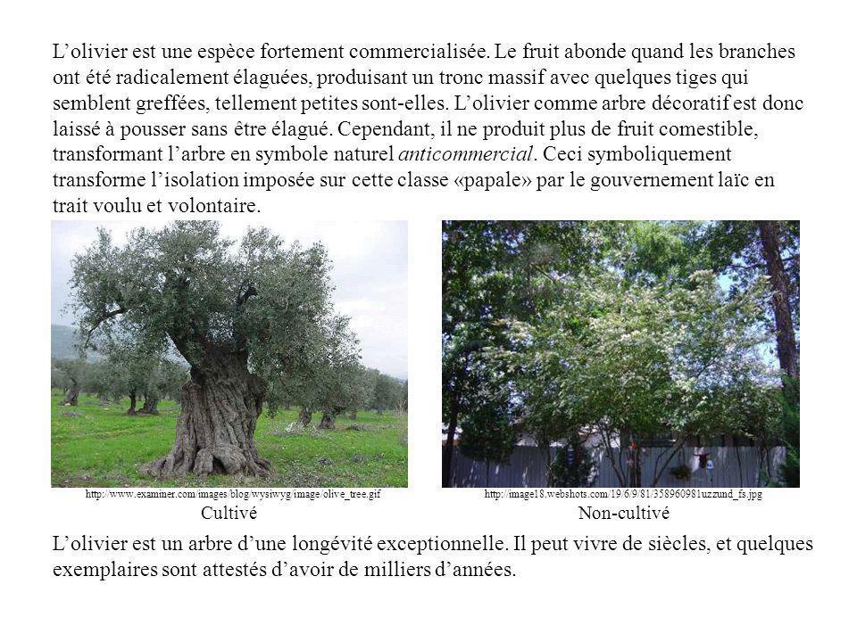 http://www.examiner.com/images/blog/wysiwyg/image/olive_tree.gif Lolivier est une espèce fortement commercialisée.