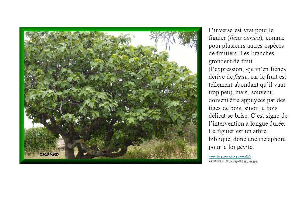 http://img.over-blog.com/600 http://img.over-blog.com/600 x450/0/43/10/09/rep-0/Figuier.jpg Linverse est vrai pour le figuier (ficus carica), comme pour plusieurs autres espèces de fruitiers.