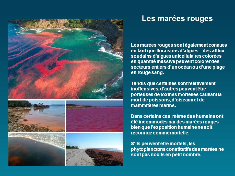 Les marées rouges sont également connues en tant que floraisons d algues – des afflux soudains d algues unicellulaires colorées en quantité massive peuvent colorer des secteurs entiers d un océan ou d une plage en rouge sang.