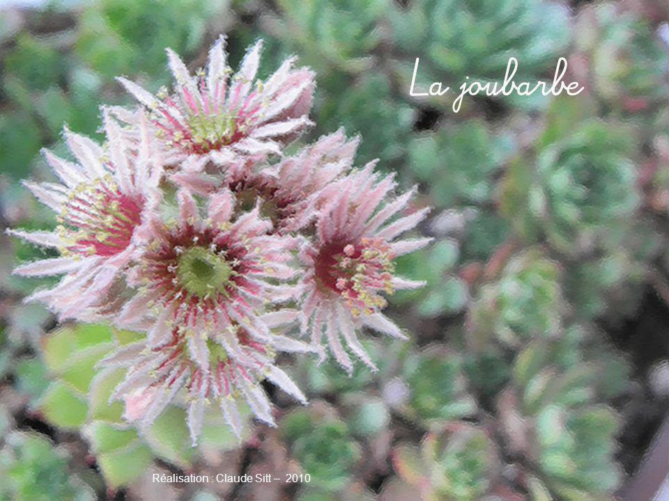 Les joubarbes font partie de la famille des Crassulacées qui est est une famille de plantes herbacées ou sous- ligneuses, à feuilles généralement charnues, sans stipules, simples et entières.