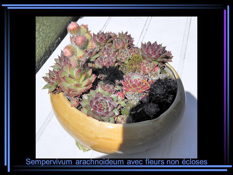 Sempervivum arachnoideum avec fleurs non écloses