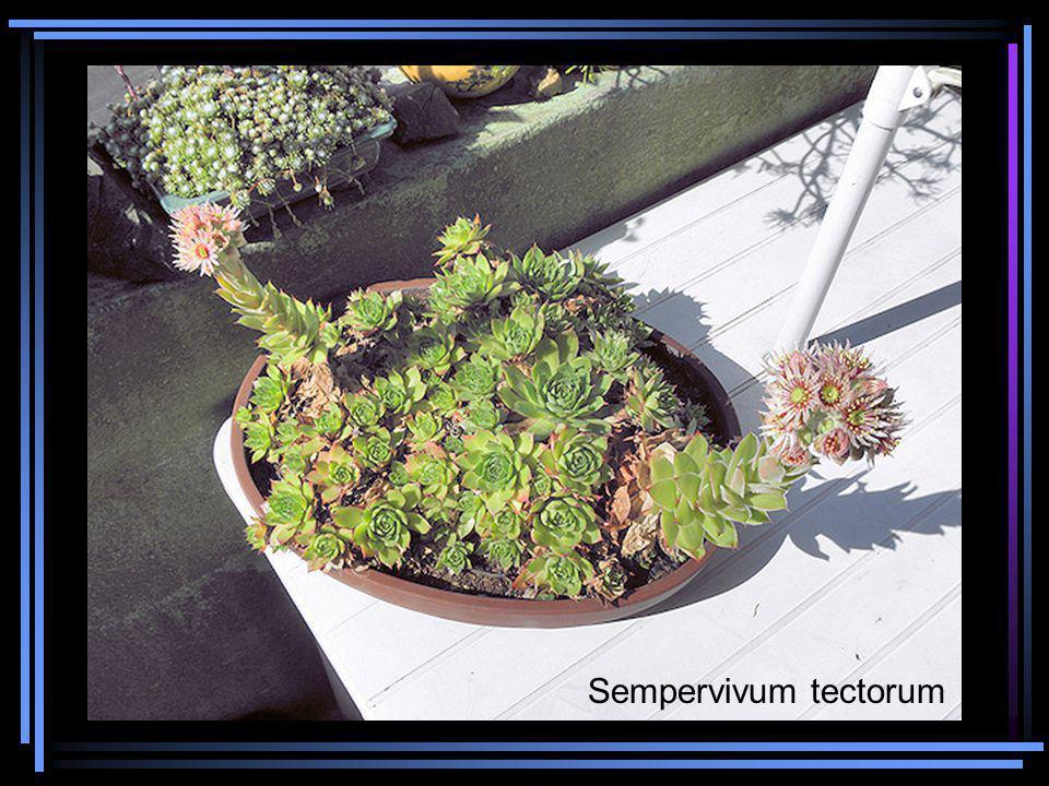 Sempervivum tectorum