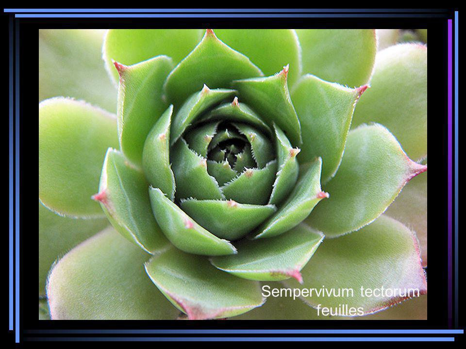 Sempervivum tectorum feuilles