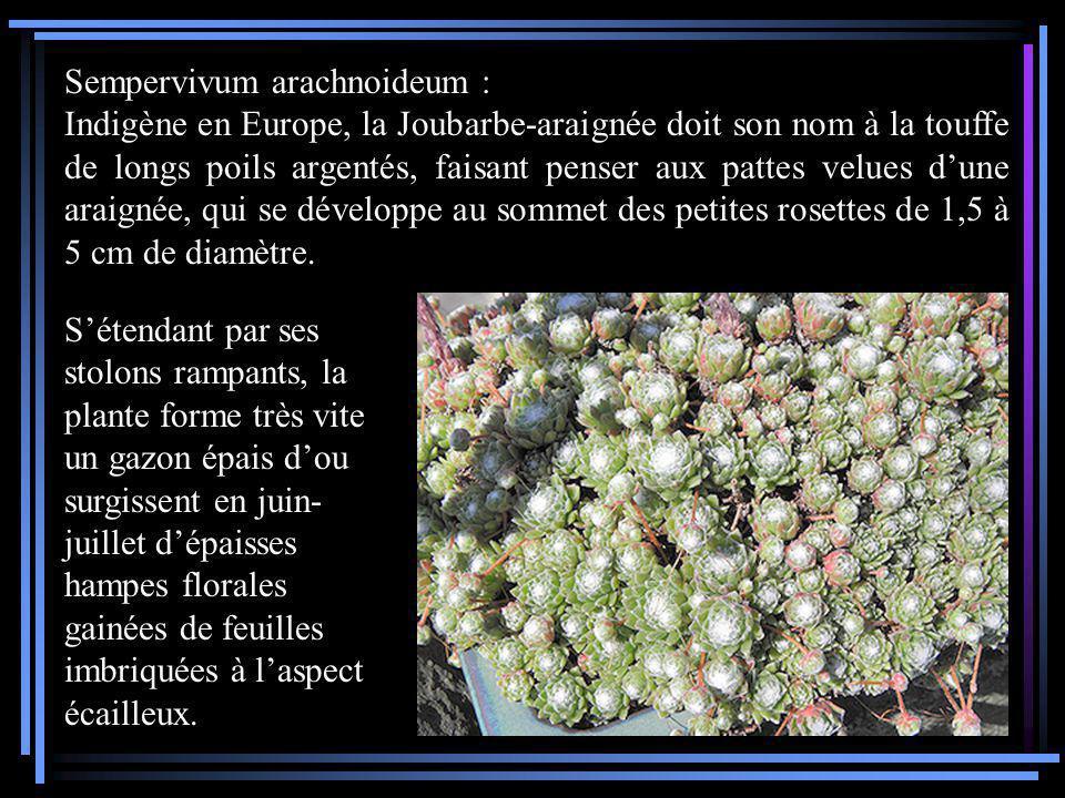 Sempervivum arachnoideum : Indigène en Europe, la Joubarbe-araignée doit son nom à la touffe de longs poils argentés, faisant penser aux pattes velues dune araignée, qui se développe au sommet des petites rosettes de 1,5 à 5 cm de diamètre.