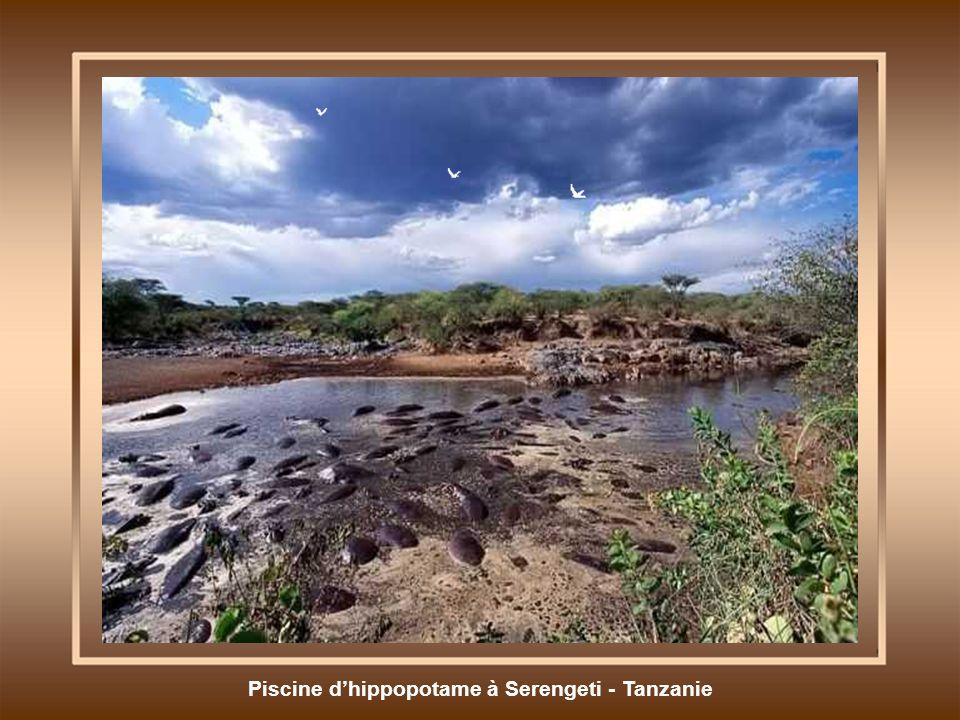 Piscine dhippopotame à Serengeti - Tanzanie