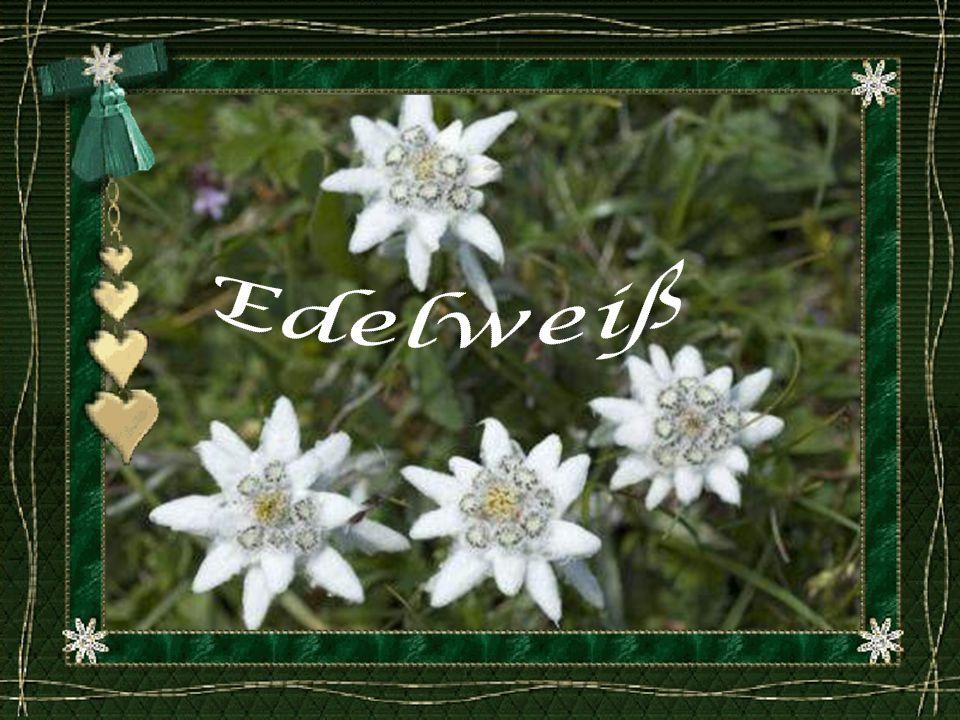 L Edelweiss (Leontopodium alpinum), pied-de-lion, Gnaphale à pied de lion dans le Tyrol1, étoile d argent ou encore étoile des glaciers est parmi les plus célèbres des plantes de montagne.