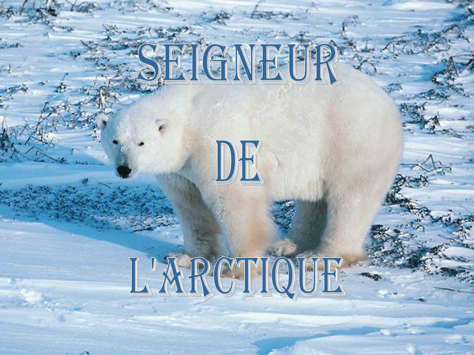 Seigneur de lArctique: le plus gros carnivore terrestre.